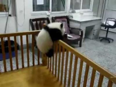 Süßes Baby-Panda versucht zu entkommen