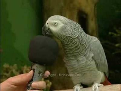 Lustiger sprechender Papagei