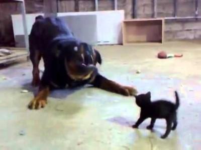 Mutiges Baby-Kätzchen gegen Rotweiler