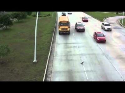 Mutiger Vogel überquert Straße (Highway)