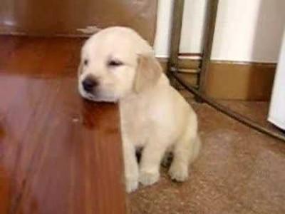 Süßes Hundebaby schläft auf Treppe ein