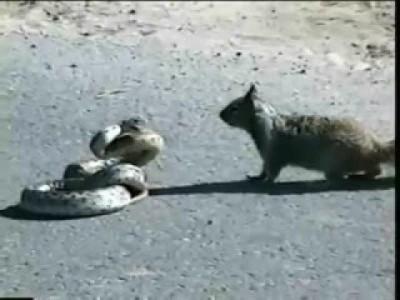 Mutiges Eichhörnchen kämpft gegen Schlange