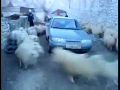 Schafe drehen durch und rennen krass um ein Auto