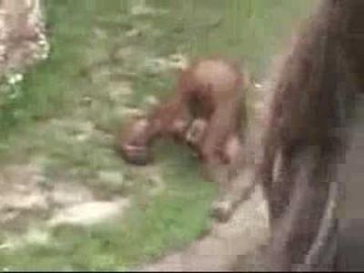 Witziger Affe trinkt eigenes Pipi (Urin)