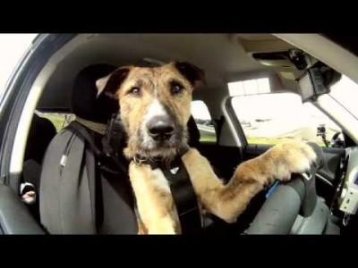 【 Krass 】 Hunde fahren Auto!