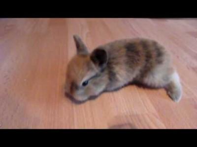 【 Extrem süß 】 Kaninchen Baby lernt hoppeln