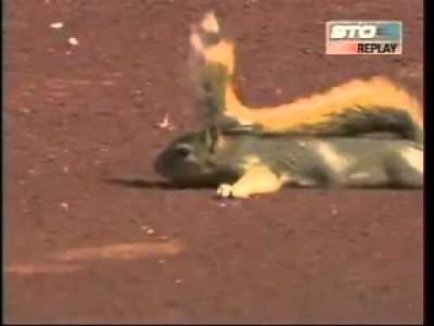 【 Extrem lustig! 】 Eichhörnchen übernimmt Baseballspiel